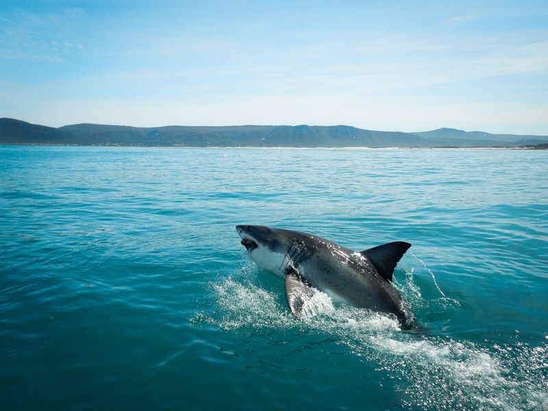 Thomas Christian Keller diving with the great white shark